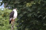 Declining Augur Buzzard Populations Found in Areas With Increasing Human Development
