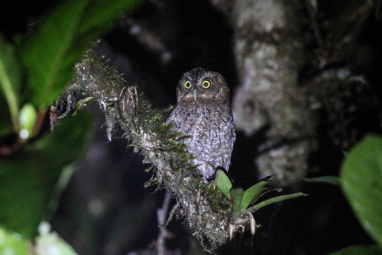 Bare shanked Screech Owl, Costa Rica