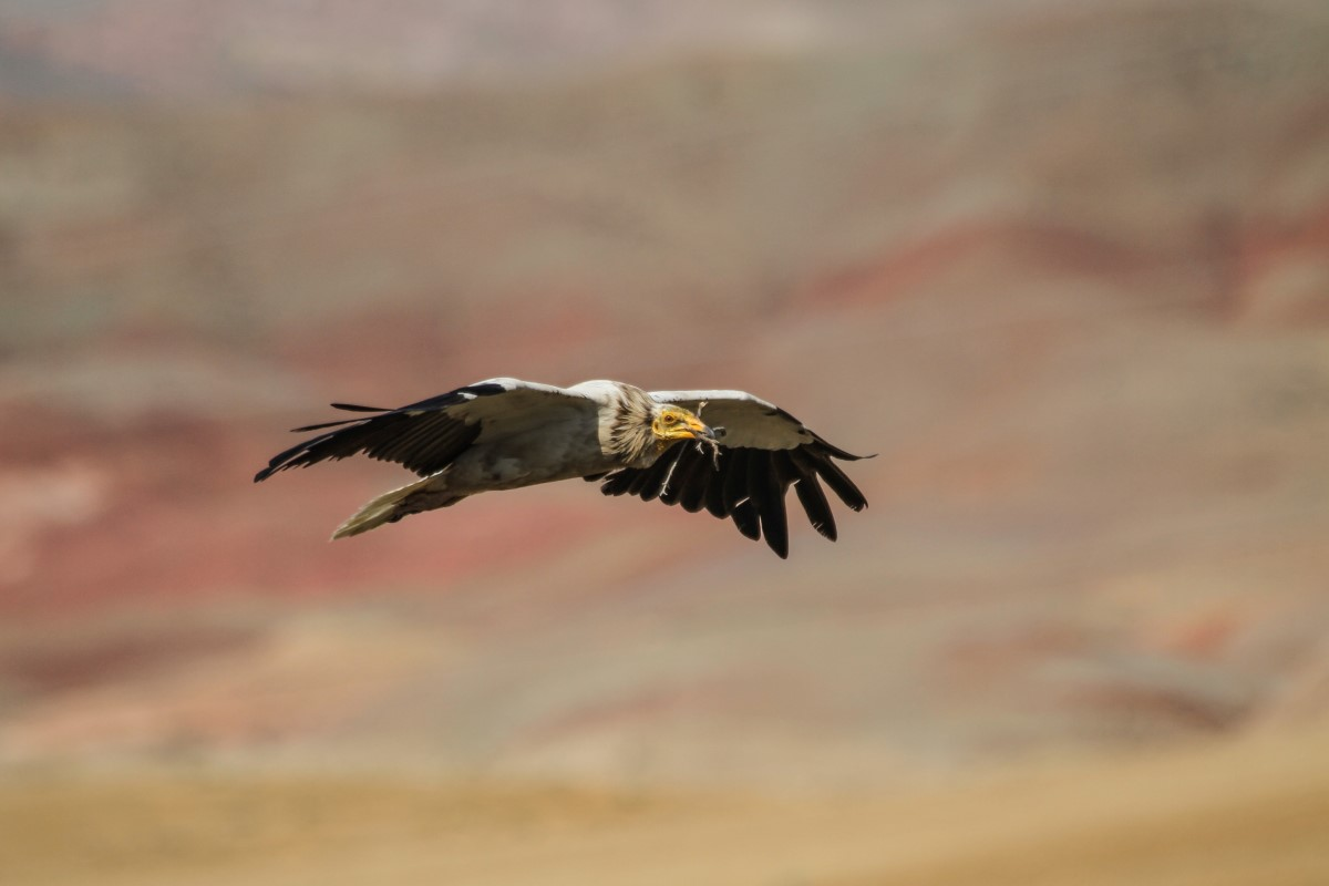 Egyptian Vulture Turkey 20150315