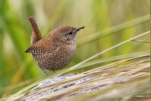 1. Pacific Wren photo by Lloyd Spitalnik