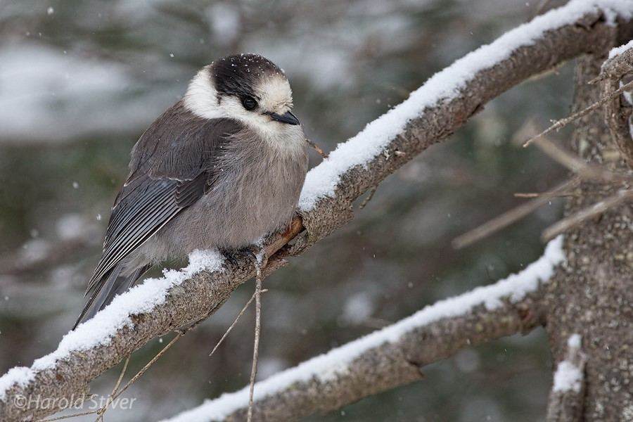 2. Gray Jay photo by Harold Stiver