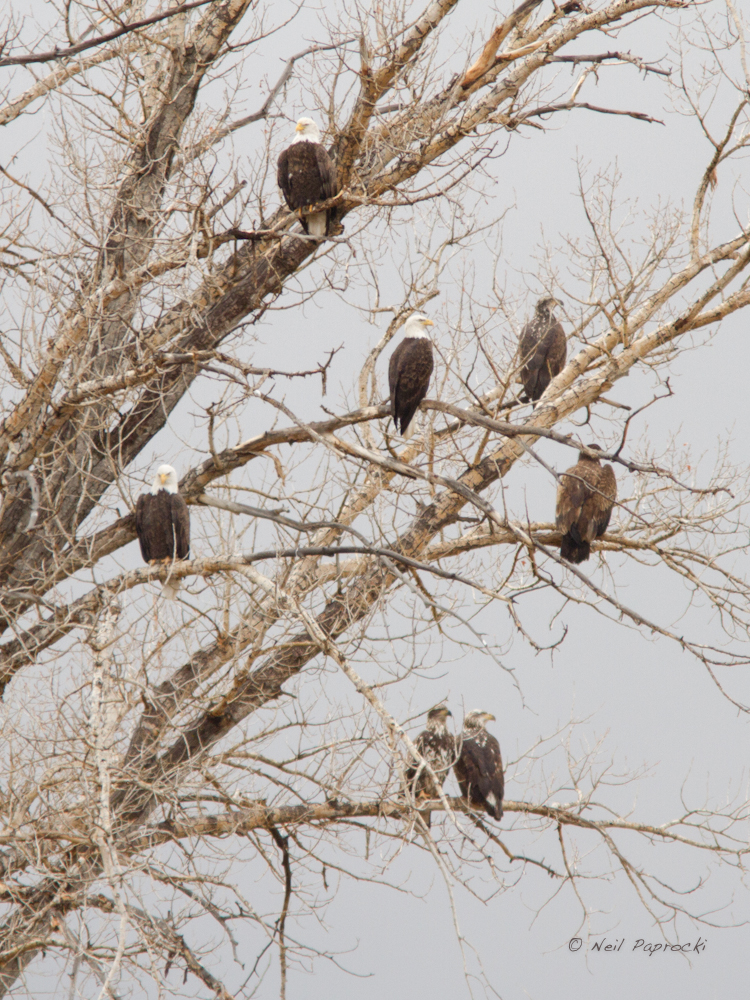 5. Bald Eagles photo by Neil Paprocki