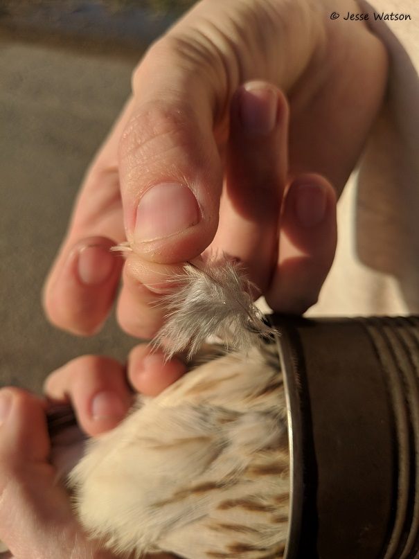 Figure 3 Removing a feather from a Female American Kestrel to obtain a genetic sample