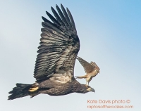 Intro to Raptor Photography with Kate Davis & Nick Dunlop