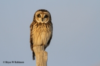 Short-eared Owl Grid Survey Training