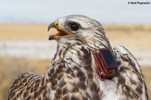 GPS Tracking of Rough-legged Hawks