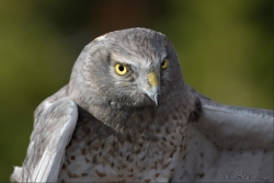 "An adult male Northern Harrier, also known as ""The Gray Ghost"" (photo by Nagi Aboulenein)"