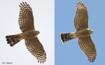 'Adult-like' 1st-year Sharp-shinned Hawks