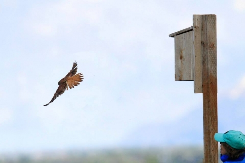 Grant received for HawkWatch and partners to research effects of climate change on American Kestrels