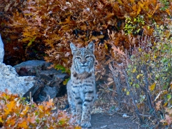 Bobcat (photo by Brian Long)