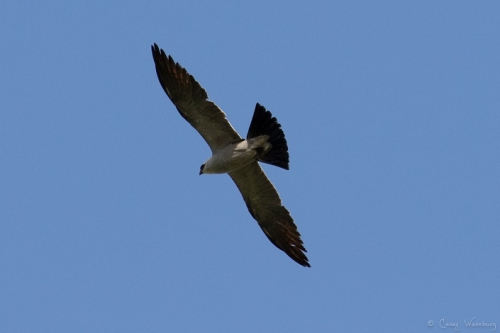 Adult Mississippi Kite gives a rare up-close look at its classic, sharp-edged shape!