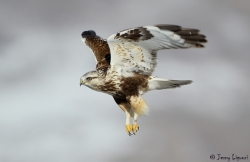 Rough-legged Hawk photo by Jerry Liguori