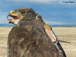 Adult male Ferruginous Hawk wearing a transmitter. Photo by Jesse Watson