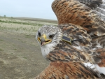 A recently telemetered male Ferruginous Hawk prior to release.  Photo by Jesse Watson