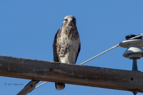 Swainson's Hawk-like Rough-legged Hawks