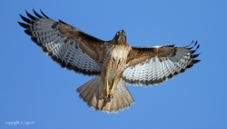 Red-tailed Hawk Eye Color Note
