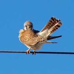 American Kestrel. Photo by Mike Shaw
