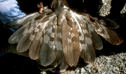 Golden Eagle Tails