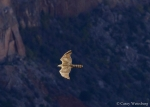 An immature Northern Goshawk charging by