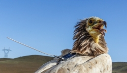 New Research Indicates Egyptian Vultures Spend Majority of Time in Compact, Developed Areas