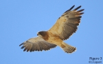 Swainson's Hawk -- Yay or Nay?