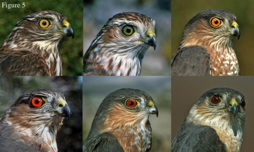 Eye Color in Raptors