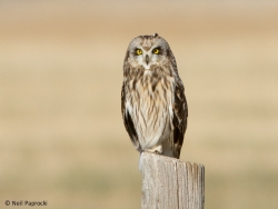 Short-eared Owl Surveys