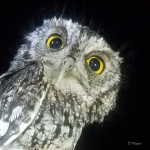 Whiskered Screech Owl