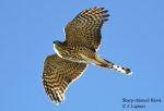 Sharp-shinned Hawk Outer Tail Feathers