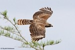 Red-shouldered Hawks look long-tailed!
