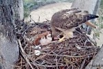 Mothering Instincts of a Hawk