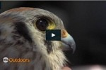 KSL Outdoors video on HWI's Kestrel Study