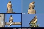 Telling Juvenile from Adult Red-tailed Hawks