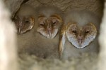 Barn Owl Fun Fact